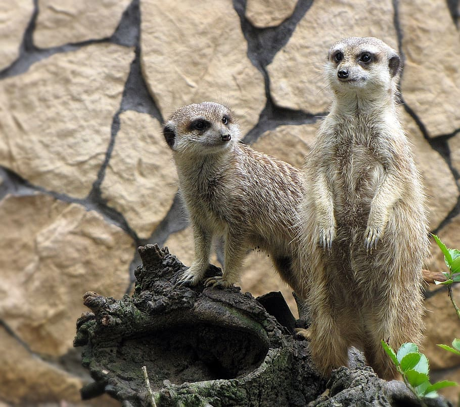 meerkats zoo animals zoological garden